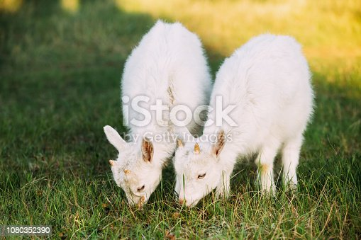 Two Kid Goats Grazing On Green Summer Grass On A Sunny Day.