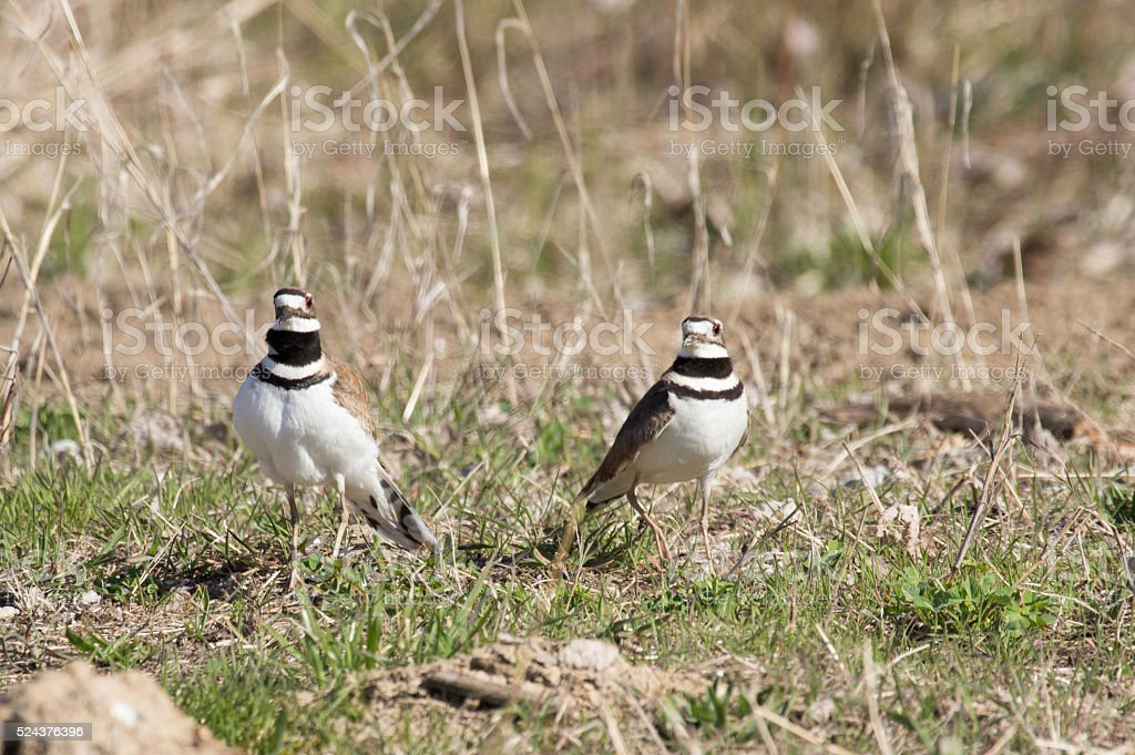 Two Killdeer Standing in the Grass stock photo