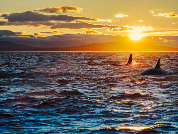two killer whales, dorsal fins against setting sun with remote islands in the backdrop - orca stock-fotos und bilder
