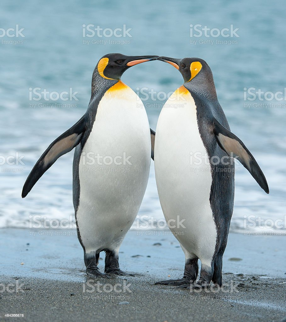 Two King Penguins on a beach in South Georgia stock photo