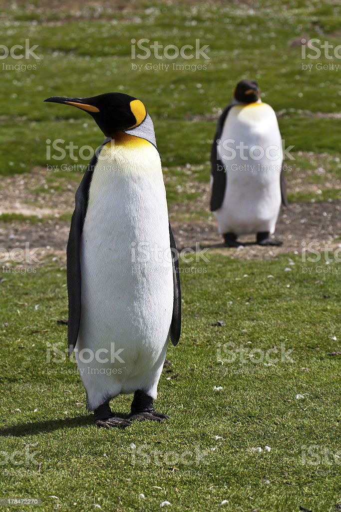 Two King Penguins royalty-free stock photo