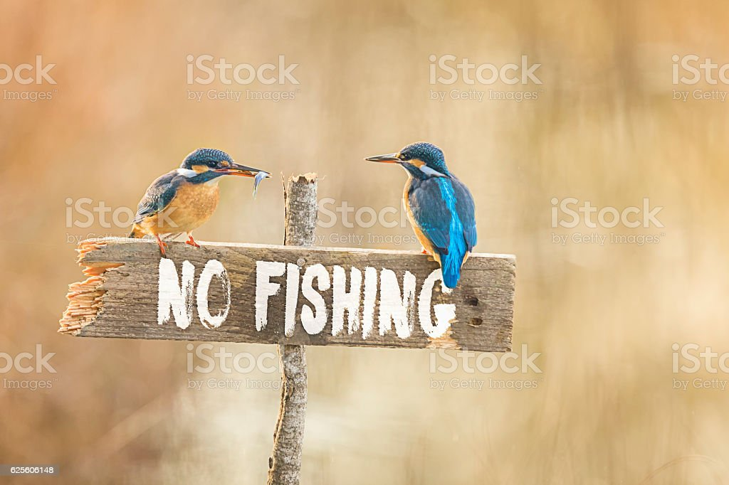 Two Kingfisher on no fishing sign with fish in beak stock photo