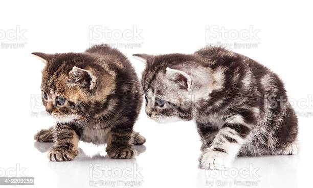 Two kitten on a white background picture id472209289?b=1&k=6&m=472209289&s=612x612&h=9cobailhfl dqrjvwn4lyey2hlgl0jxlk5z0622 jdg=