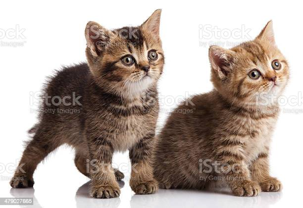 Two kitten on a white background picture id479027665?b=1&k=6&m=479027665&s=612x612&h=zajg6uhss0deihu8ejrnb8bw nm7skhqs8ilphlxuzi=