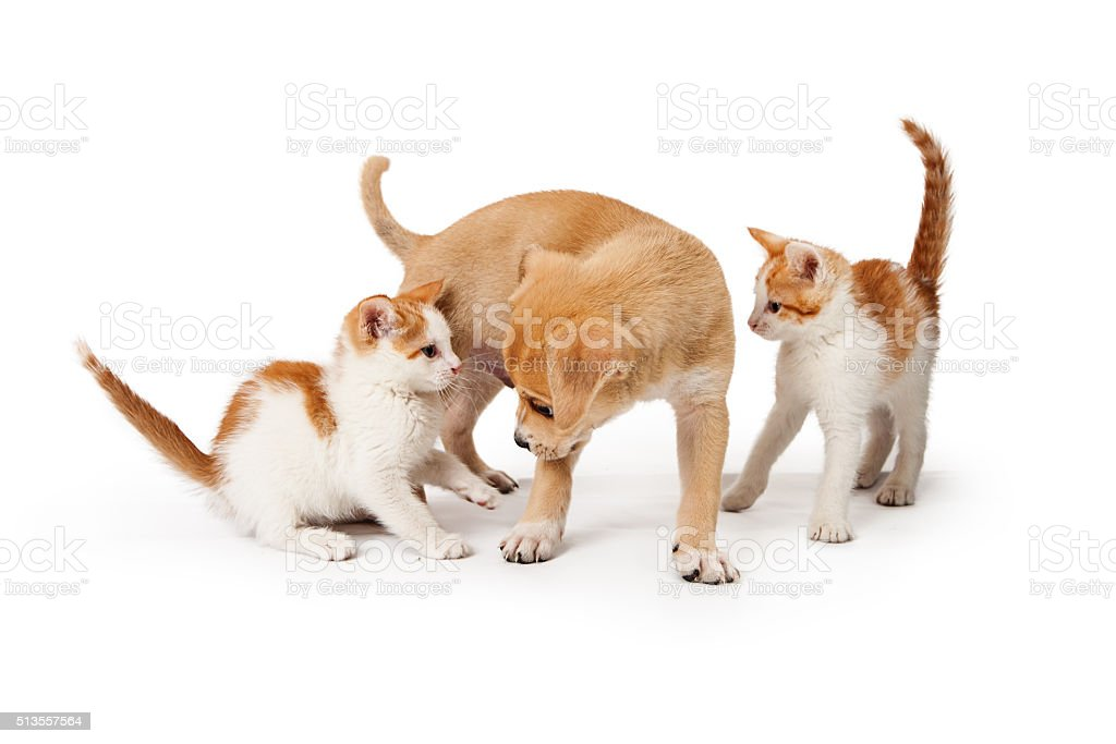 Two Kittens and a Puppy Together on White stock photo