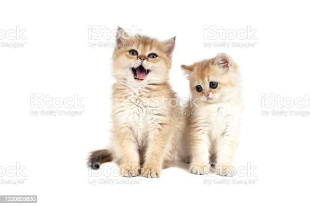 Two kittens british picture id1220825830?b=1&k=6&m=1220825830&s=612x612&h=ci9o4qmaz kejeoh8gii6w2ndbzah nzwsa3bsh3eh4=