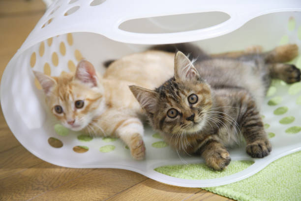 royalty free cat laundry basket pictures images and stock photos