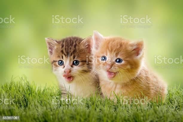 Two kittens on green meadow picture id532851061?b=1&k=6&m=532851061&s=612x612&h=1vu5irrubvw u3jan6in24bg9yvlc1ir9jpjeazuyc8=