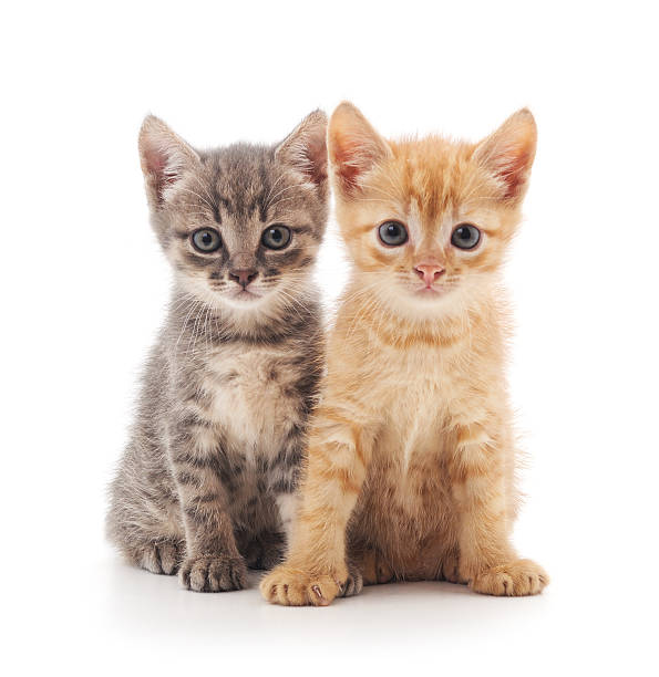Two kittens picture id613681056?b=1&k=6&m=613681056&s=612x612&w=0&h=a1fmehqnv5jfpnijf0eli klrlwborw0qwhqsbnycso=