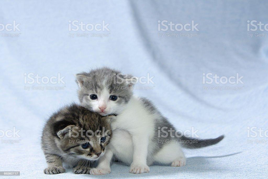 Two kittens royalty free stockfoto