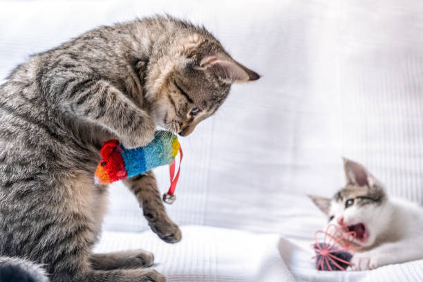two kittens playing at home. little cats stock photo