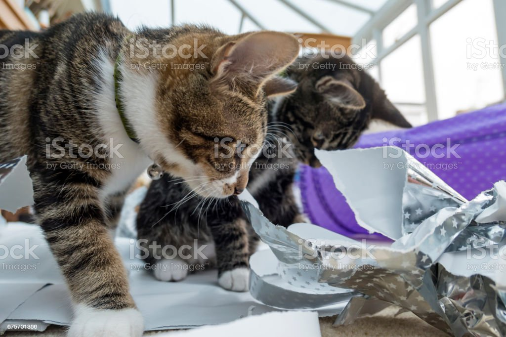 Two kittens playing with wrapping paper royalty-free stock photo