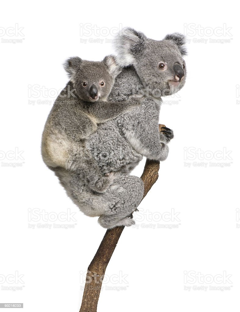 Two koala bears on a tree branch stock photo