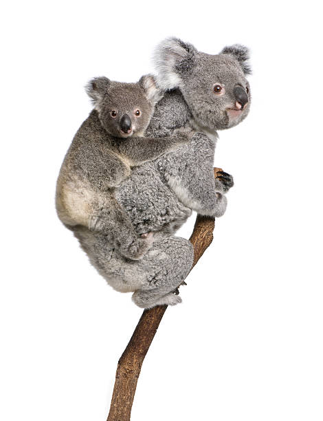 Two koala bears on a tree branch Koala bears climbing tree, 4 years old and 9 months old, Phascolarctos cinereus, in front of white background. koala stock pictures, royalty-free photos & images