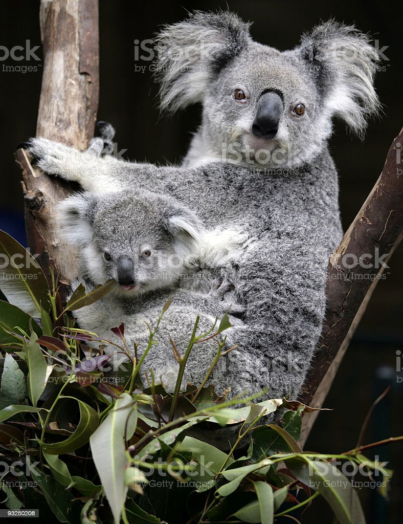 Two koala bears sitting in a tree stock photo