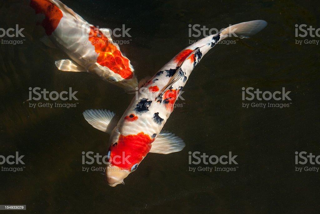 Two koi fish stock photo
