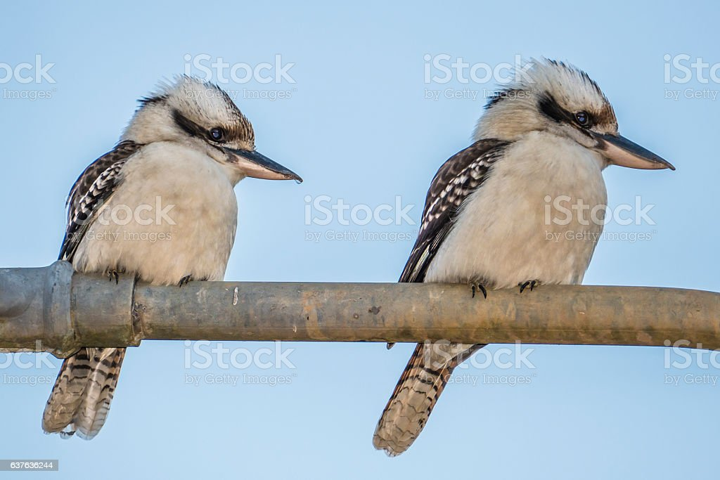 Two Kookaburras Australia on metal fence​​​ foto