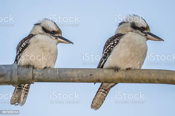 Two Kookaburras Australia on metal fence