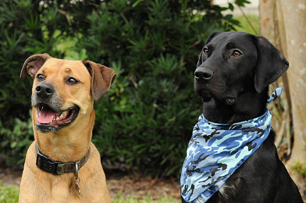 Two Labrador Dog Friends Awaiting their Commands stock photo
