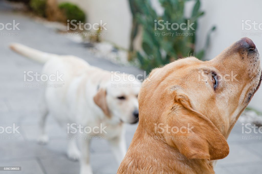 Two Labrador Dogs playing royalty-free stock photo