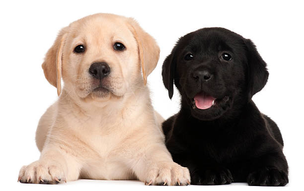 Two Labrador puppies, 7 weeks old, stock photo