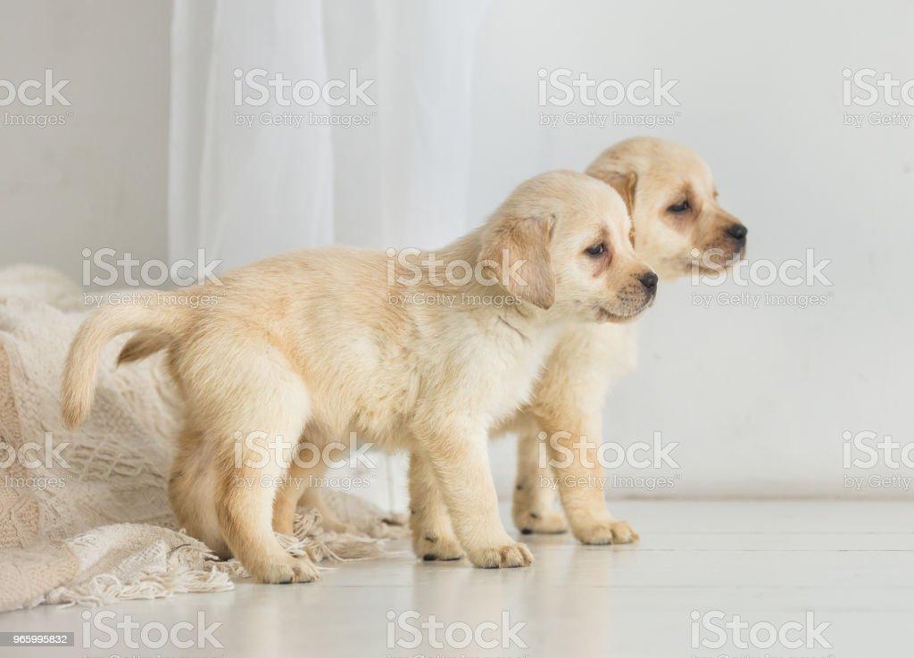 Twee Labrador pups kijken naar de kant op de verdieping - Royalty-free Baby Stockfoto