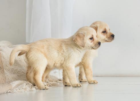 Twee Labrador Pups Kijken Naar De Kant Op De Verdieping Stockfoto en meer beelden van Baby