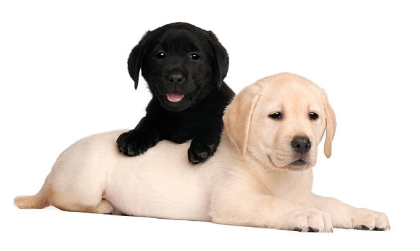 Two labrador puppies seven weeks old white background picture id120968964?b=1&k=6&m=120968964&s=612x612&w=0&h=gk045i2hbbezkbuixumukmakhsijbtkqhr9zkhzfhmq=