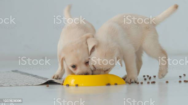 Two labrador puppy funny eat in a yellow bowl on a floor picture id1022628396?b=1&k=6&m=1022628396&s=612x612&h=lb 3mqphllycuh9vhggyy2vels59j r4vmjcnlg63ku=