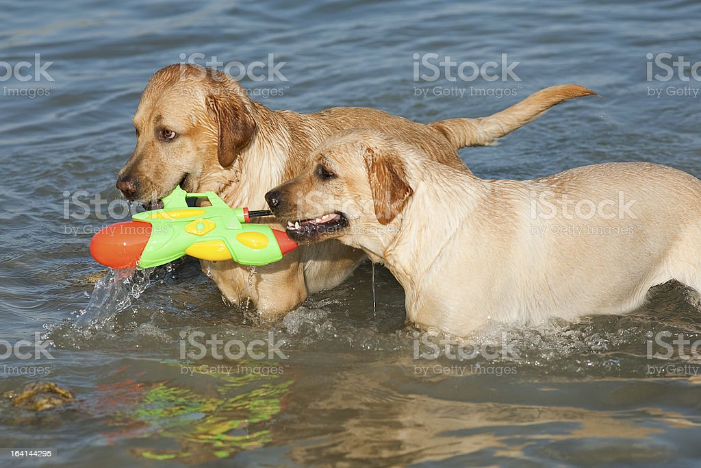 Two Labradors at sea royalty-free stock photo