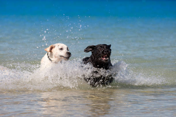 Two labradors leaping in the ocean picture id1169656873?b=1&k=6&m=1169656873&s=612x612&w=0&h=6eq7ywbf7q2pv8a3pmfs1ybirkmktf 3udtevj9sxom=