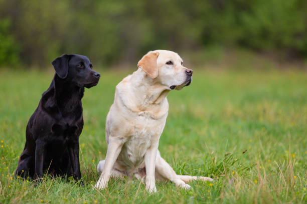 Two Labradors Retriver on a spring meadow. Small depth of field stock photo