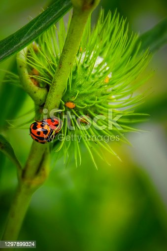 Two Lady Beetles mating