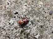 Don't mind me. Two ladybirds mating