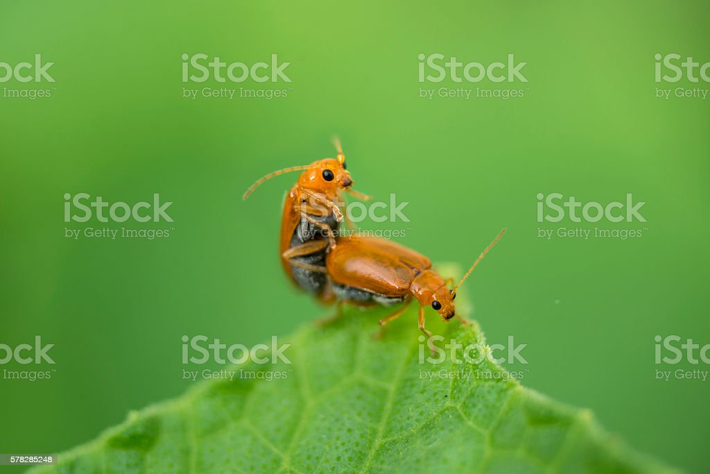 Two ladybug are mating on a green leaf. – Foto