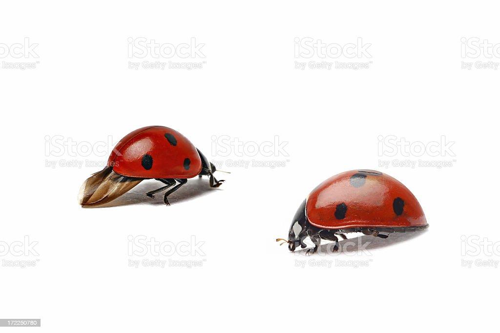 Two ladybug (isolated) royalty-free stock photo