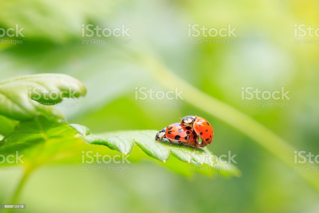 Two ladybugs being mate – zdjęcie