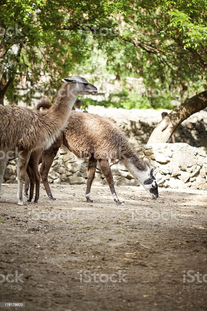 Two lamas royalty-free stock photo