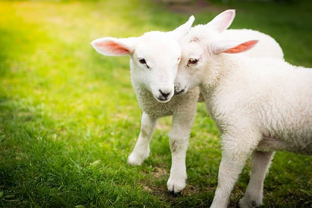 Due pecore coccole sul campo verde - foto stock