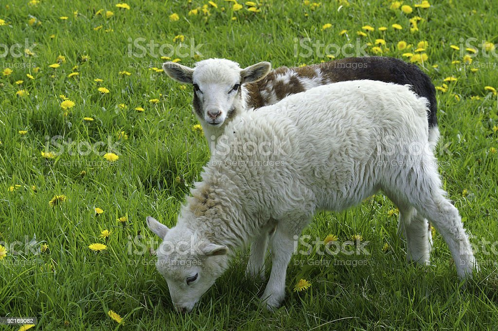 Two lambs on a spring meadow royalty-free stock photo