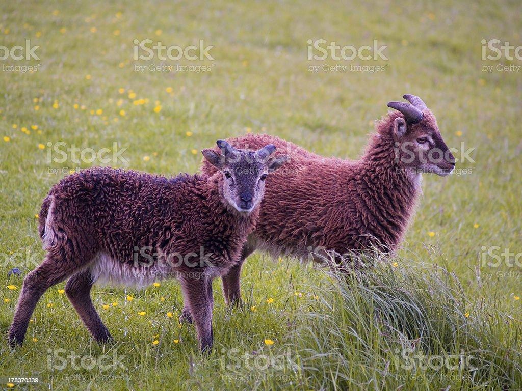 Two Lambs stock photo