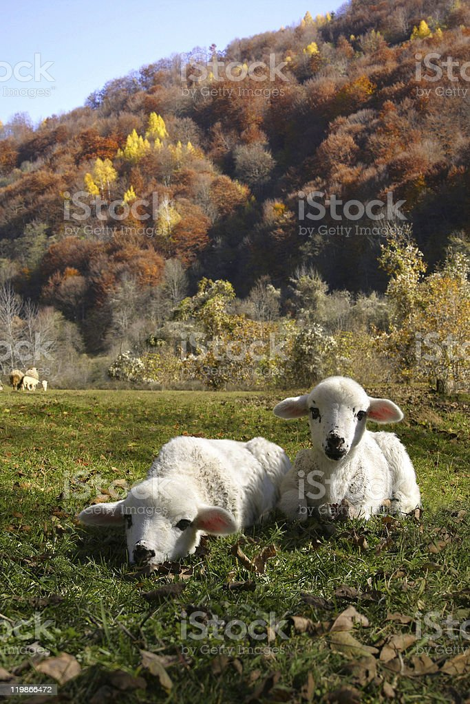 Two Lambs Resting stock photo