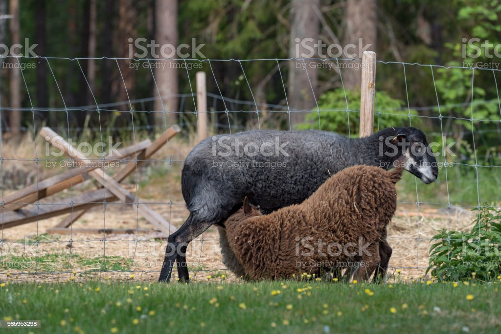 two lambs suckling on their mother stock photo