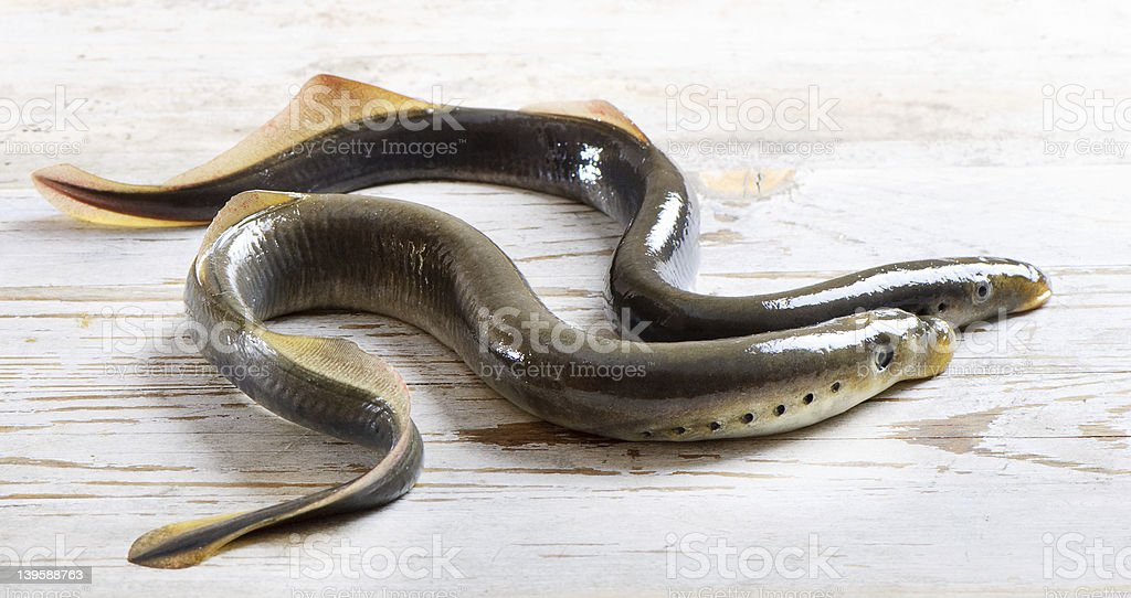 Two lampreys stock photo
