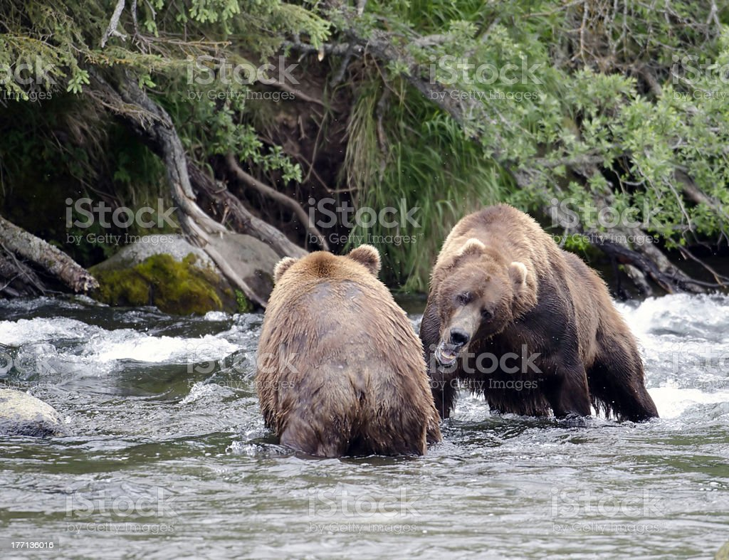 Two large Alaskan brown bears fighting in the water stock photo