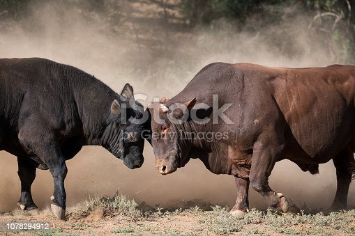 Two large bulls fight against each other in the Karoo dust