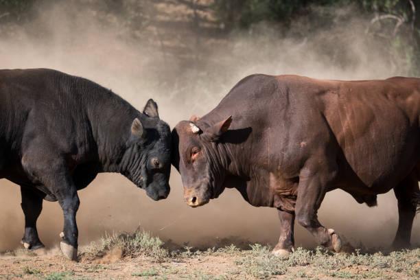 Two large bulls fighting stock photo
