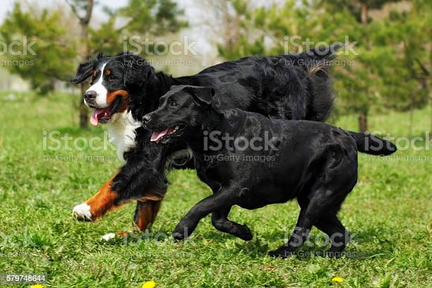 Two large good family dog the labrador retriever picture id579748644?b=1&k=6&m=579748644&s=612x612&h=awkyvnew2xpqemanxvti5 ixz aot eors3 ds8 9sy=