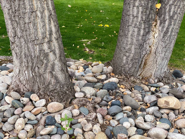 two large oak trees in a lush green garden yard with stone rock ground covering stock photo
