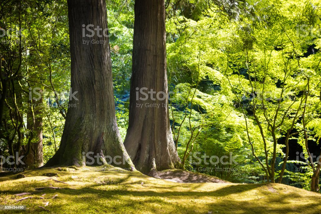 Two large trees stand together in Japanese Zen garden stock photo